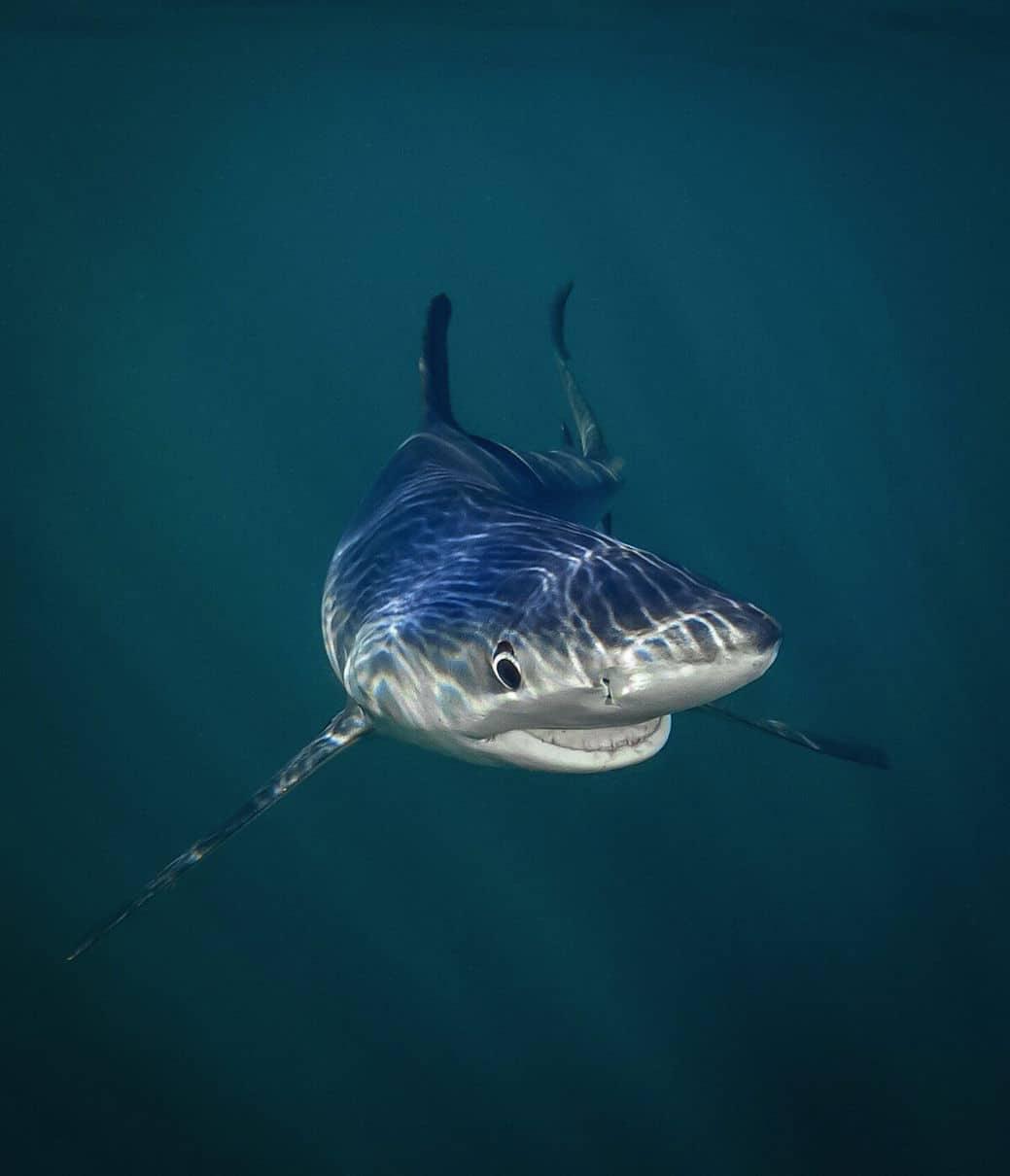"""Smiling Blue Shark"" autor Tanya Houppermans"