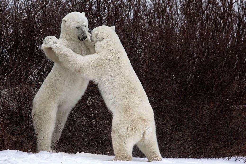 """""""Dances with Bears"""" autor Luca Venturi"""